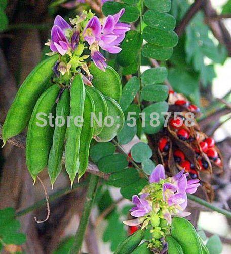 100 Seeds Abrus Precatorius Seeds - Red Rosary Prayer Bead Seeds(China (Mainland))