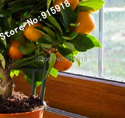 20pcs Edible Fruit Mandarin Bonsai Tree Seeds Citrus Bonsai Mandarin Orange Seeds