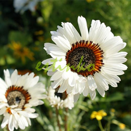 Rare Flower Seeds 10pcs/bag White Monarch of the Veldt Cape Daisy Seeds Bonsai Seeds Pot Plant Home Garden DIY Free Shipping(China (Mainland))