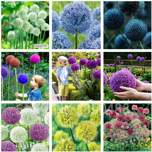 100 Purple Giant Allium Giganteum bulbs Beautiful Flower Seeds Balcony Garden Plant budding rate 95% rare flower kid