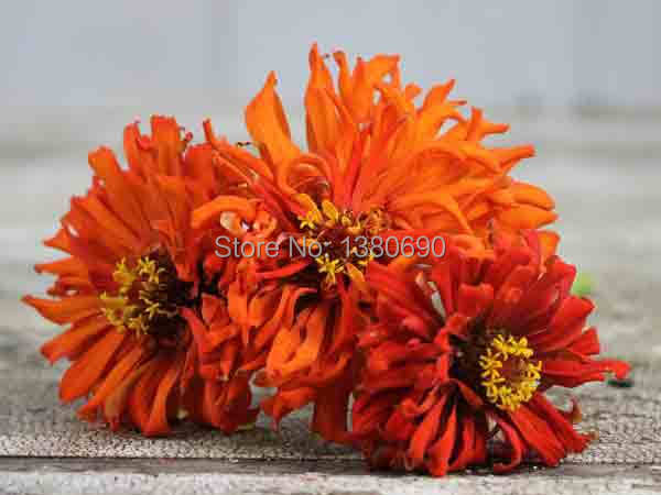 High Quality.50 Seeds/Pack.Potted Annual  Flower Seeds Redman Super Cactus Zinnia.DIY Home Garden &Bonsai Plant Seeds.(China (Mainland))