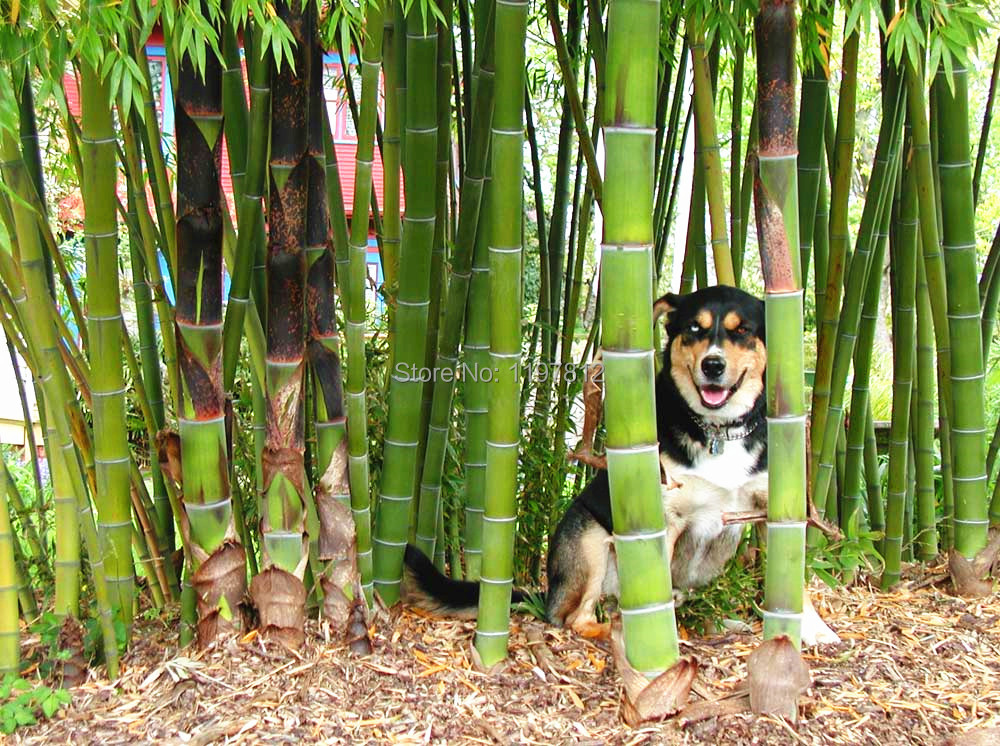 on sale!quality bamboo seeds 2014 new 100pcs set quality giant moso bamboo seeds for DIY home garden tree seeds(China (Mainland))