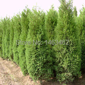 50PCS / bag Cypress Seeds, Roads Green Plants Vertical Beautiful tree seeds free shipping(China (Mainland))