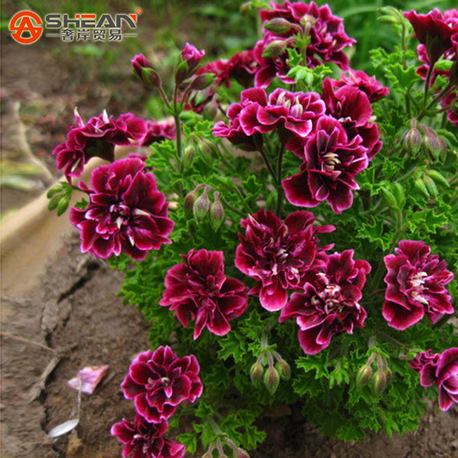 A Package 20 Pieces Crimson Flower Petals Geranium Seeds Perennial Flower Seeds Pelargonium Peltatum Flowers for