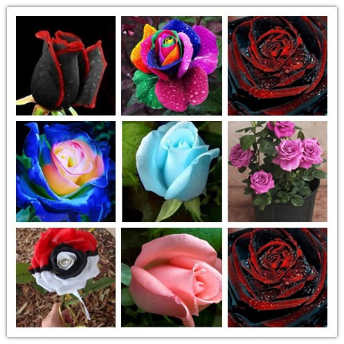 100PCS Flower Seed Holland Rose Seed Lover Gift Orange Green Rainbow RARE 24 Color To Choose DIY Home Gardening Flower(China (Mainland))