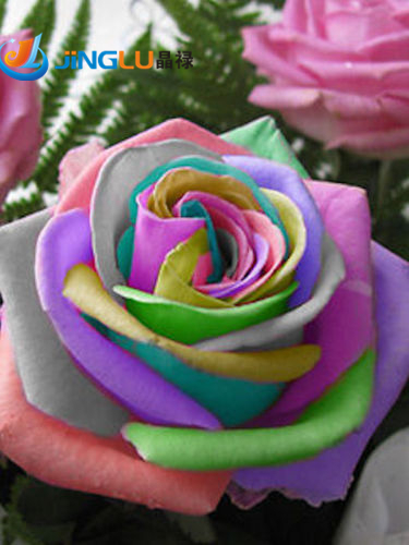 50 Seeds / Pack , Flower Seeds Bonsai Semillas Rosa Rainbow Cream Rose Seeds Home & Garden Free Shipping(China (Mainland))