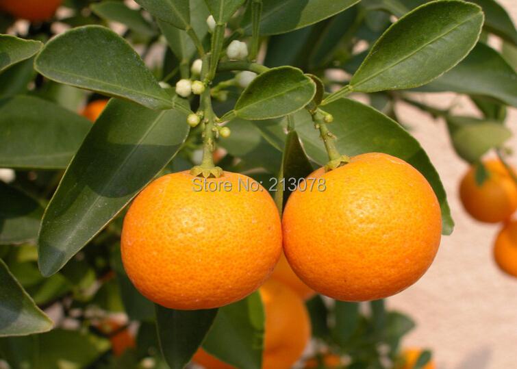 Sweet orange seeds mini orange small orange seeds about 100 pcs bag