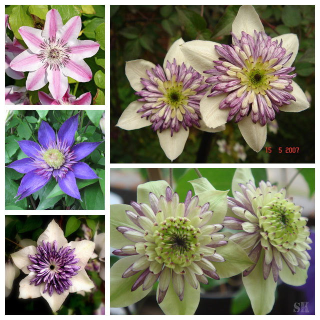 Clematis bulbs clematis seeds mix clematis hybridas climbing plants garden landscaping 50 seeds bag