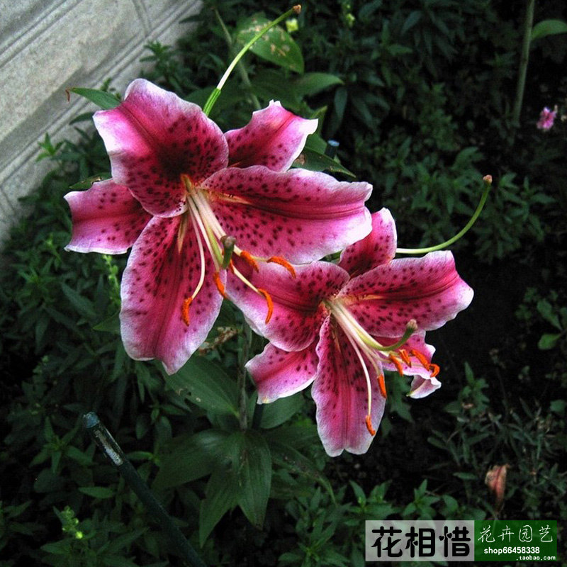 Take Xiangxi Home Furnishing indoor plants flowers in Holland imported perfume lily bulb of lily flower ball(China (Mainland))