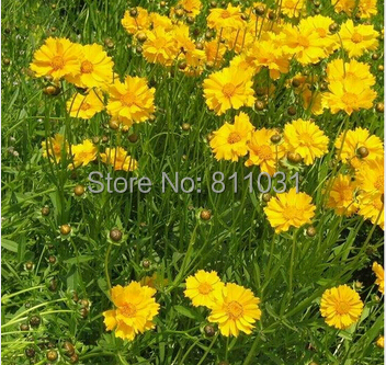 20 pcs / bag ,Coreopsis seeds, potted seed, flower seed, variety complete, the budding rate 95% FREE SHIPPING(China (Mainland))