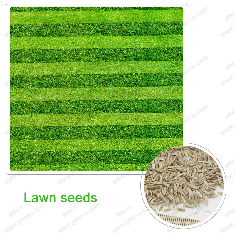 Grass seeds, Lawn Seed evergreen perennial, the family garden lawn manageable, 1000 particles / bag(China (Mainland))