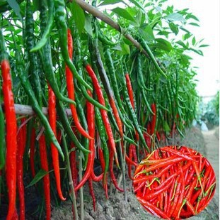 long hot pepper seeds , red hot chilli peppers, fruit and vegetable seeds,100 seeds(China (Mainland))