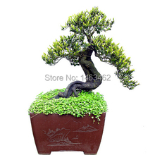 Buy Chinese Green Tea Tree seeds bonsai plant DIY tea healthy life home garden 5pcs free for $1.14 in AliExpress store