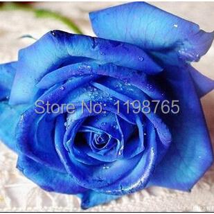Hot Sale 100% Genuine 300pcs Rare Flower Seeds Blue Rose Seeds Wholesale Free Shipping(China (Mainland))