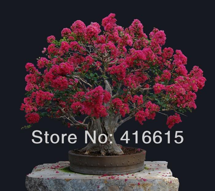 Карликовое дерево NC 200 , * , карликовое дерево china seeds dionaea muscipula