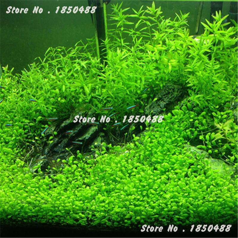 2016 New 1000 Pcs Aquarium Plant Seeds,Water Aquatic Plant Ornamental Grass Seeds, Very Easy Grow Seedlings Hot Sale(China (Mainland))