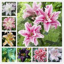 True lily bulbs,lily flower,(not lily seeds),flower lilium bulbs,Faint scent,bonsai pot plant for home garden -2 bulbs(China (Mainland))