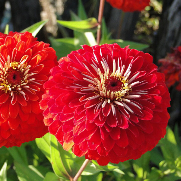 Red Zinnia,Potted flowers zinnia seeds,Original Package seed about 50 particles(China (Mainland))