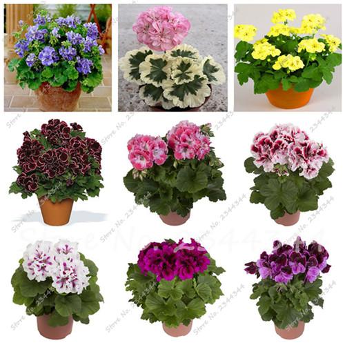 Les grandes plantes d 39 int rieur promotion achetez des les for Geranium d interieur