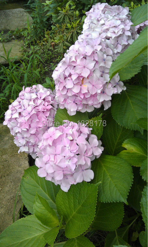 Free shipping Home&garden bonsai seed light pink Flower seeds 150pcs hydrangea seed sementes de flores semillas de flores a gift(China (Mainland))