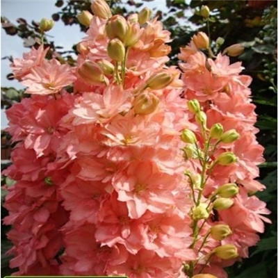 بذور زهرة بذور العائق جميلة زهرة النباتات الرئيسية حديقة زهرة النبات aa(China (Mainland))