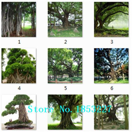 100pcs/bag banyan tree seeds ficus ginseng bonsai seeds green tree seeds DIY home garden(China (Mainland))