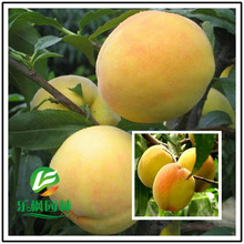 Peach Direct peach seed Fairview fresh peach seed of new varieties of sweet yellow peach seed 5 seeds / pack(China (Mainland))