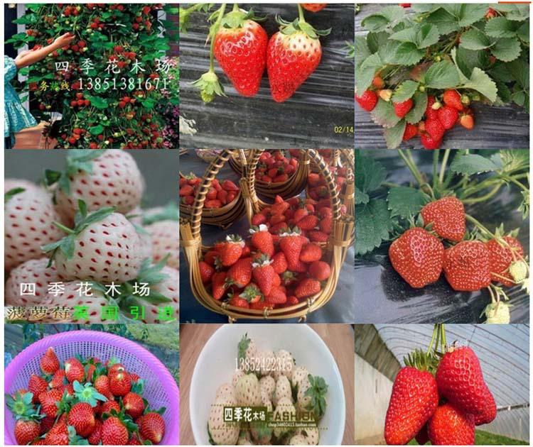 1000 pcs (24 colors ) strawberry seeds fruit strawberries seeds flower seed garden indoor DIY Garden bonsai flower pots planters(Hong Kong)