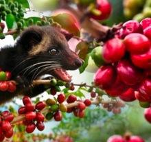 Yunnan civet cat feces coffee beans medium roast roastered beans Kopi Luwak Coffee Green Coffee Luwak