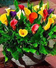 Buy True calla lily bulbs,calla bulbs (not calla lily seed) bonsai flower bulbs zantedeschia aethiopica home garden plant 2 bulb/bag for $1.56 in AliExpress store