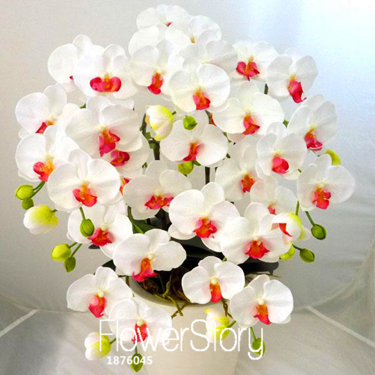 Sale!200 PCS/Bag White Phalaenopsis Seeds Butterfly Orchid Potted Seed Indoor Flowers Bonsai Four Seasons,#T5PKI7(China (Mainland))