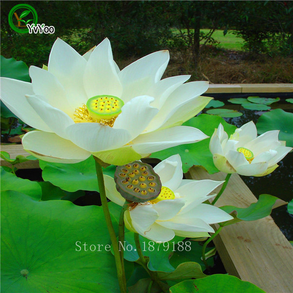 Buy lotus seeds white water lilies water for Lotus plant for sale