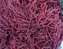 50pcs/lot Smelly/Flavored Soft Plastic Fishing Lure Bait Bionic Red Worm 5cm for fishing Earthworm Maggot Free Shipping