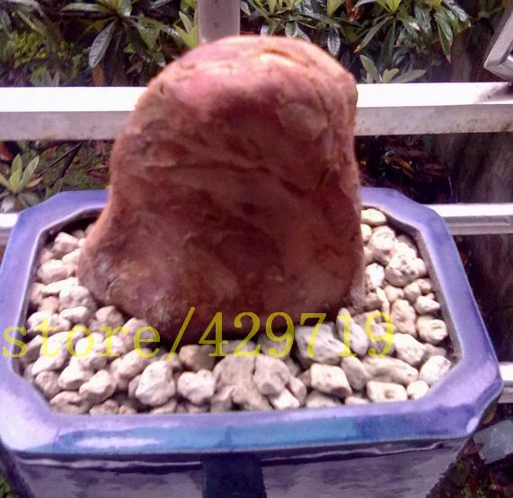 100pcs succulent Sandalwood bonsai FLOWER seeds for fresh air good smell ornamental-plant(China (Mainland))
