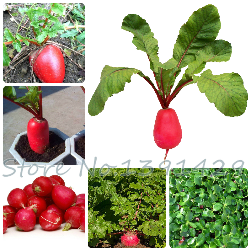 100 radish ,fruit and vegetable seeds radish for home garden planting(China (Mainland))