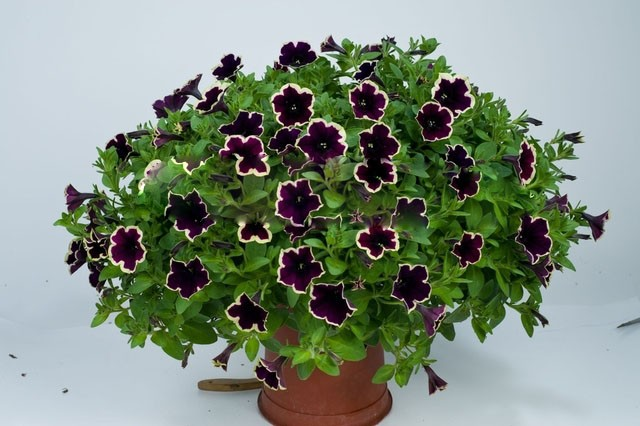 Cascadia Rim Magenta Petunia Dark Purple Blooms With a Cream Edge Flower Seeds For Home Bonsai Plants for Decoration--100seeds(China (Mainland))