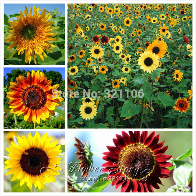 20 Seeds Rare Garden Mini SUNFLOWER Plant , mixed varieties beautiful colorful 1 original Package - Marseed store