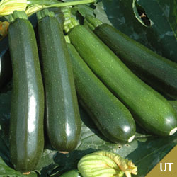 Beijing Jade squash seeds *10seeds nutrition product vegetable seed free shipping organic green vegetable seeds(China (Mainland))