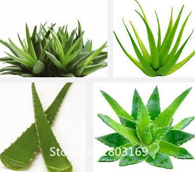 2016 100pcs plant seeds Rebutia variety MIX exotic flowering color cacti rare aloe seeds office mini plant succulent planting(China (Mainland))