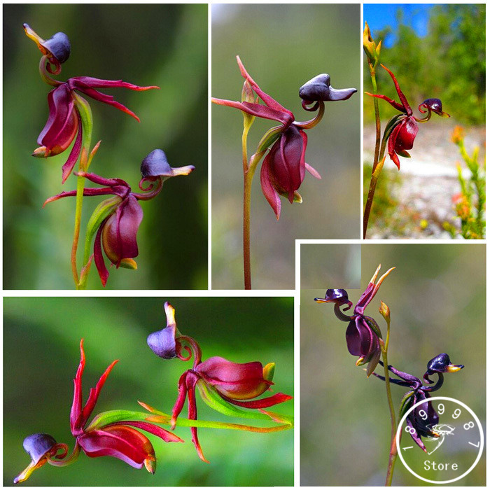 Series orchid plants seeds, flying duck orchid seeds like ducks balcony pot seeds 200 particles / bag,#HOAI5C(China (Mainland))