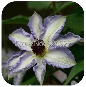 Clematis Hybridas clematis seed clematis flowers mix color 200 pieces bag
