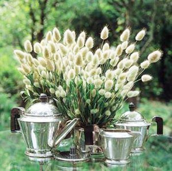 free shipping 50pcs/bag Bunny tail grass /Lagurus ovatus plants seeds for DIY home garden
