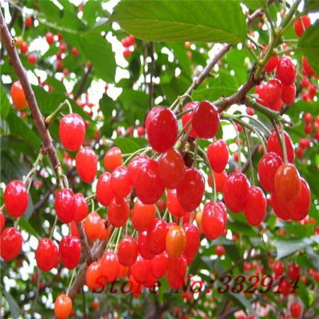 Arvore cereja fruta