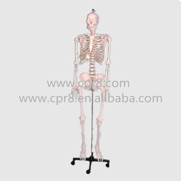 BIX-A1002 84cm human skeleton model Australia freight free and Japan freight free<br><br>Aliexpress