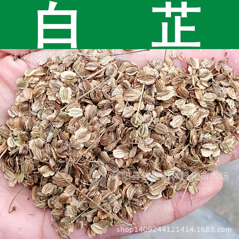 Herb seed freshly collected seeds of authentic Chinese herbal medicine Angelica Angelica seed seed  assurance 200g / Pack