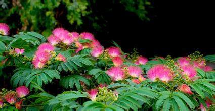 1kg 10:1 albizia flower extract Flos Albiziae extract