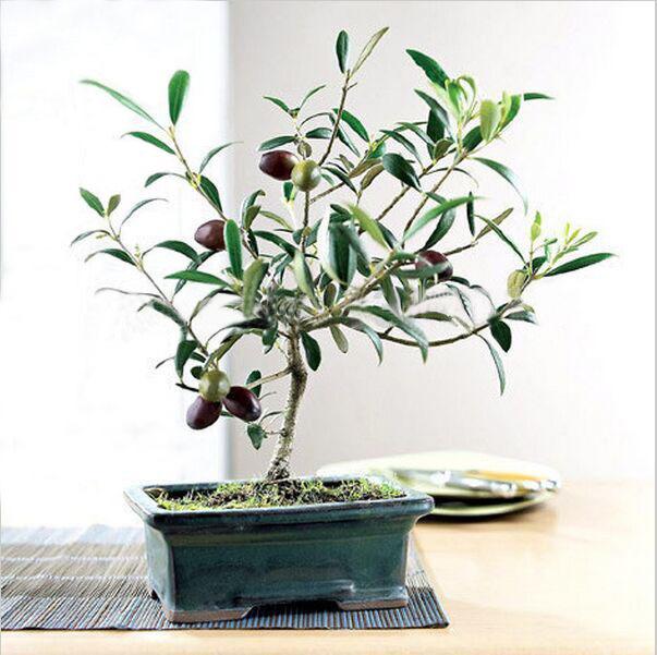 10/bag Olive Bonsai tree (Olea Europaea) Seeds, Bonsai Mini Olive Tree, Olive Bonsai Fresh Exotic Tree Seeds(China (Mainland))