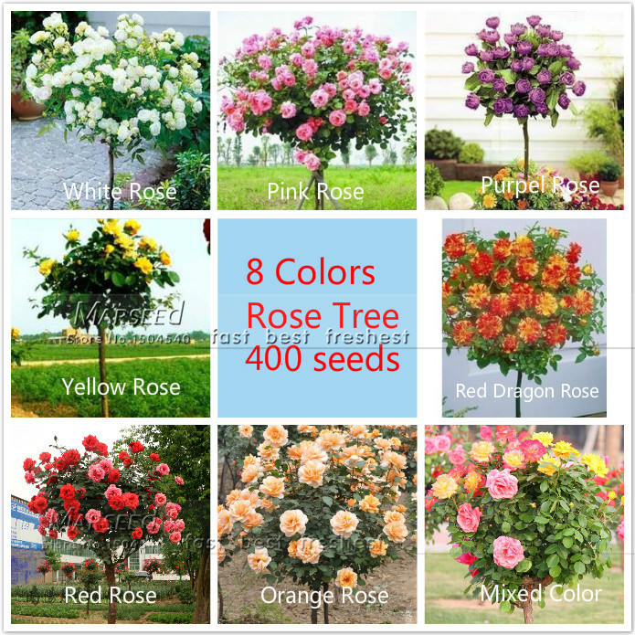 400 seeds 8 Colors Chinese Rose Tree Seeds 50 seeds/ Color ,aromatic pleasant-smelling fragrant,ideal DIY Home bonsai flower(China (Mainland))