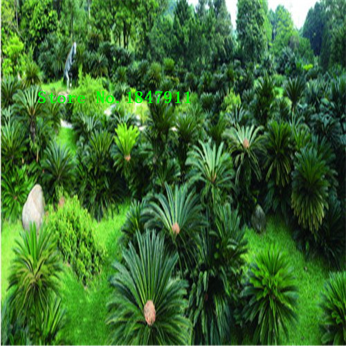 2015 new 50pcs Fresh Cycas seeds Rare China Tree Seeds Four season Green Tree Free Shipping(China (Mainland))