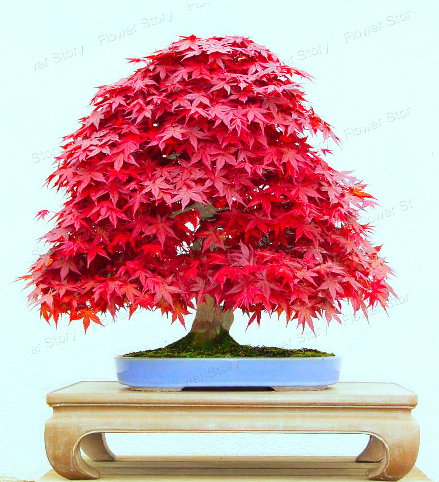 buy 50 seed japanese maple bonsai tree red maple gorgeous color 100 real seeds. Black Bedroom Furniture Sets. Home Design Ideas